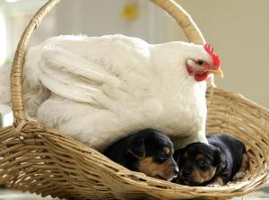 chickenandpups