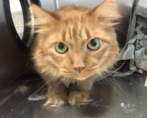 Declawed Cats For Adoption In Tampa